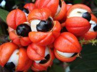 Découvrez les bienfaits du Guarana